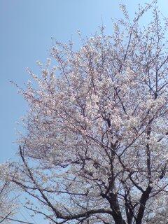 0326-1 桜咲く!