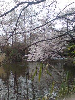 0330-1 善福寺公園でお花見!